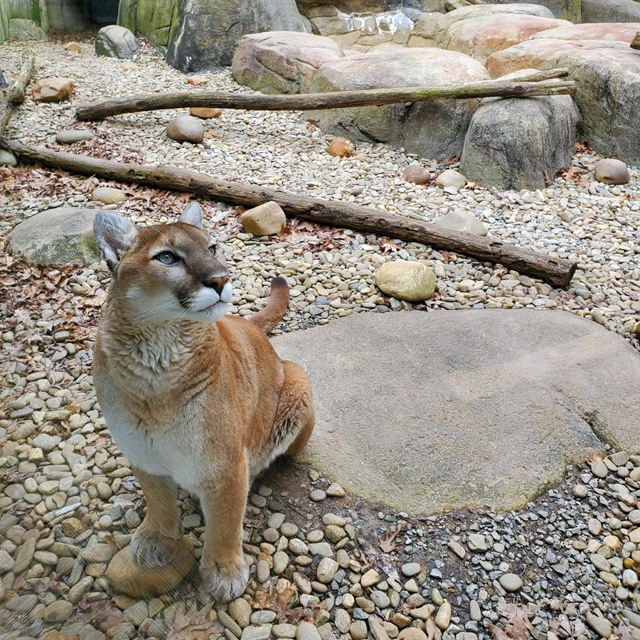 Western North Carolina Nature Center cougar