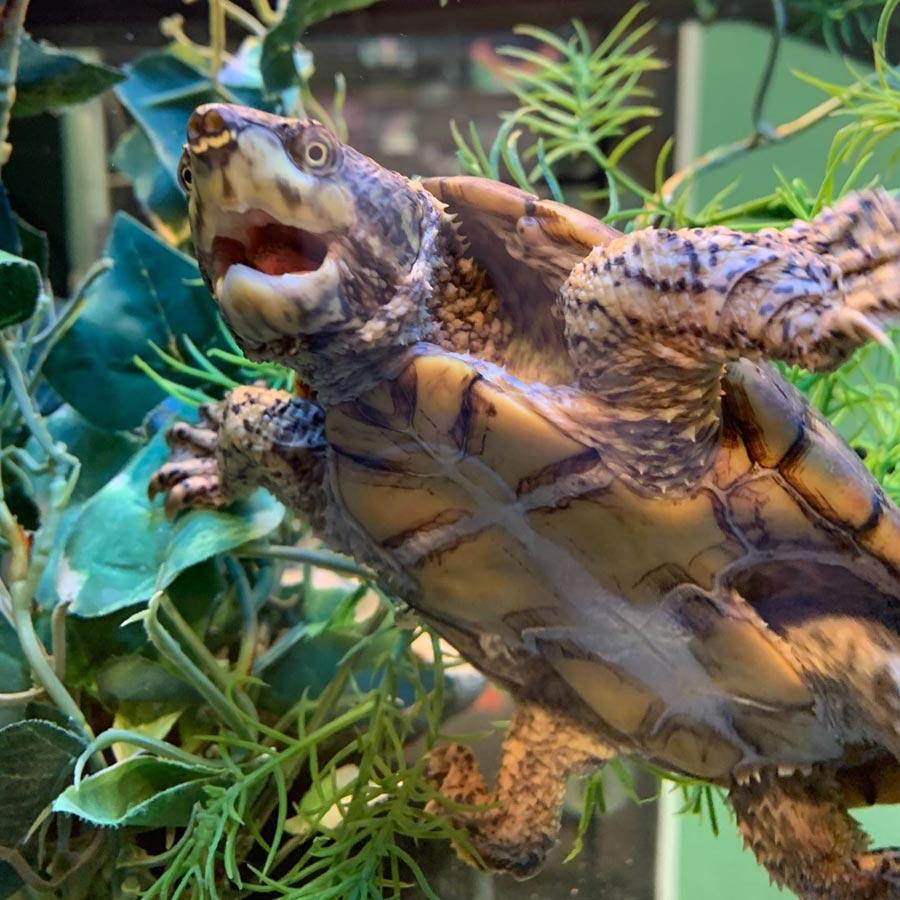 Western North Carolina Nature Center musk turtle