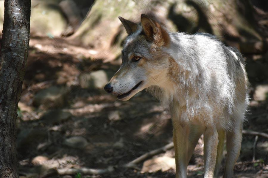Western North Carolina Nature Center gray wolf